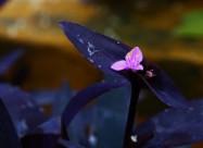 紫竹梅图片(9张)