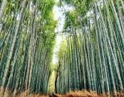 挺拔结实的竹子图片(12张)