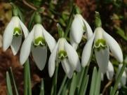 洁白的雪花莲图片(19张)