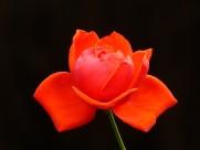 鲜艳红玫瑰图片(8张)