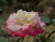 姹紫嫣红的玫瑰图片(16张)