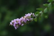 紫薇花图片(6张)