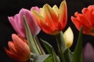 颜色各异的郁金香图片(14张)