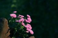 深秋一丛小菊花图片(6张)