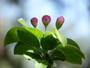 粉色海棠花图片(8张)