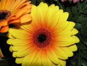 多种颜色的非洲菊图片(13张)