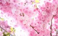 姹紫嫣红的杏花图片(12张)