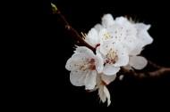 美丽的山杏花图片(12张)