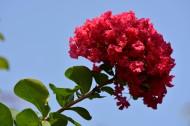 红色紫薇花图片(9张)
