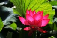 莲花图片(10张)