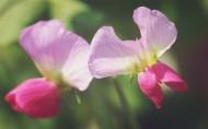 豌豆角花朵图片(6张)