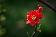 火红的贴梗海棠图片(10张)