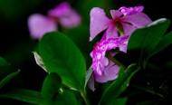 四季海棠花卉图片(7张)