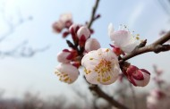 白色杏花图片(8张)