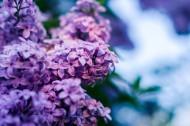 秀美的紫色丁香花图片(15张)