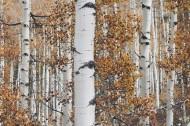 茂密的白桦林图片(15张)