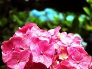八仙花图片(20张)