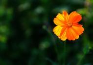 金黄色波斯菊图片(15张)