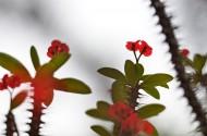个性虎刺梅花卉图片(21张)
