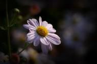 光影下的菊花图片(12张)