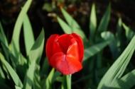 红色郁金香图片(11张)