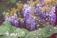 绽放的紫罗兰图片(16张)