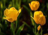 唯美的郁金香图片(10张)