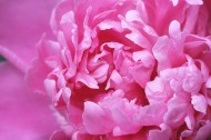 粉红色的牡丹图片(15张)