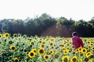 美丽的向日葵图片(8张)