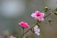 松红梅图片(6张)