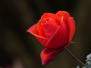 玫瑰图片(13张)