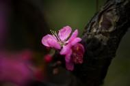 粉红色杏花图片(10张)