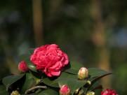 盛开的山茶花图片(11张)