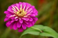 百日草花卉图片(30张)