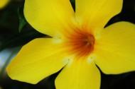 黄花酢浆草花卉图片(9张)
