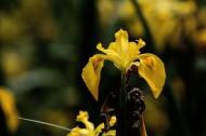 黄色鸢尾花图片(10张)