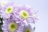 雏菊图片(18张)