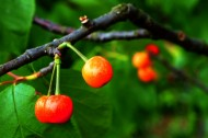 挂满枝头的樱桃图片(7张)