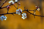 白色的杏花图片(18张)