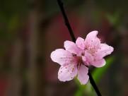 单瓣桃花图片(11张)