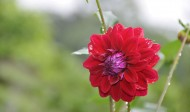 红色芍药花图片(5张)
