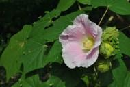 木芙蓉花朵图片(4张)