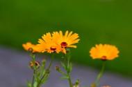 淡雅小雏菊图片(10张)