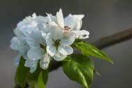 梨花图片(10张)