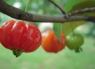 红果仔植物图片(9张)