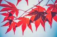 枫树枝上的枫叶图片(13张)
