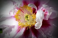 牡丹花图片(8张)
