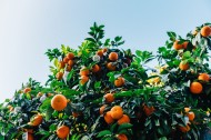 茂盛的橘树图片(9张)
