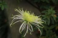 灿烂盛开的菊花图片(12张)