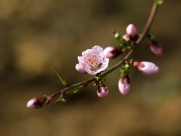 粉色桃花图片(10张)